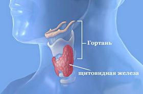 Щитовидка находится в шее человека